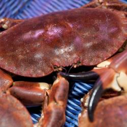 Crabe vivant - calibre...